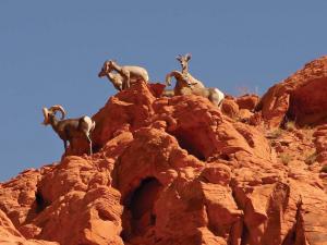 2013.location.nevada.logandale-trail.sheep.JPG