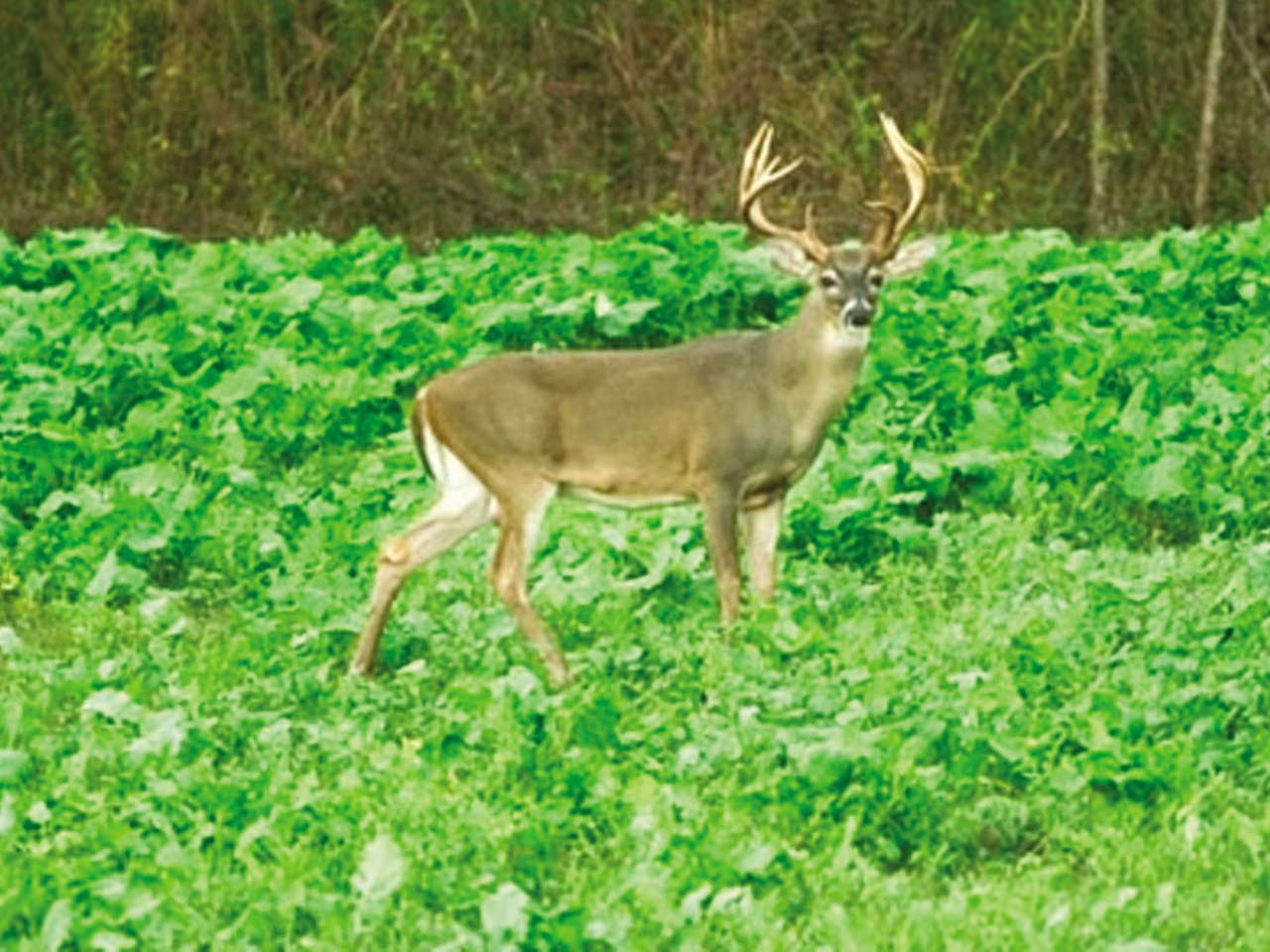 vendor.2011.quadivator.deer-in-field.jpg