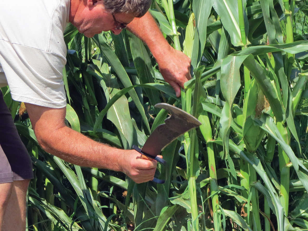 vendor.2015.woodmans-pal.knife_.cutting-corn.jpg